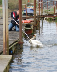 WRAS rescuer Jayden carefully catching the swan with a swan hook (Photo: Gavin Bruce, BDMLR)