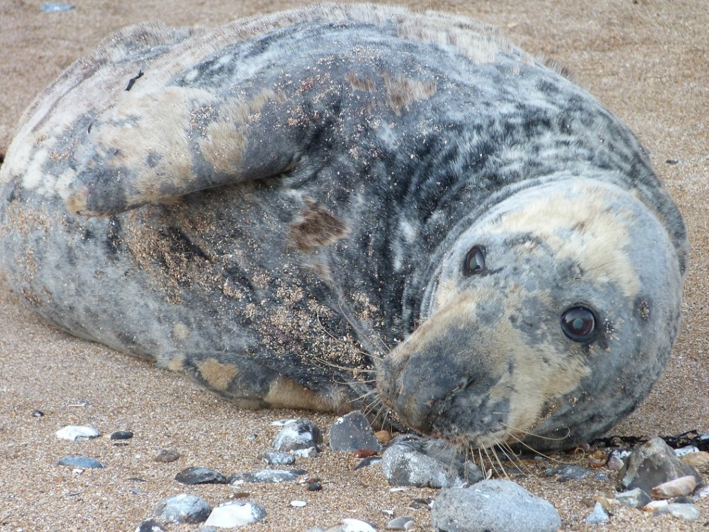 The 7ft long 250kg adult Grey Seal was a long way from the tide