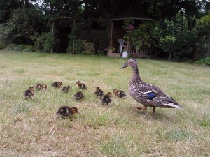The mother duck and her 11 ducklings were escorted to safety through the housing estate