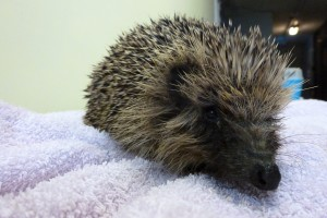 Now all cleaned up, both hedgehogs will be released back at Westham at the end of the week