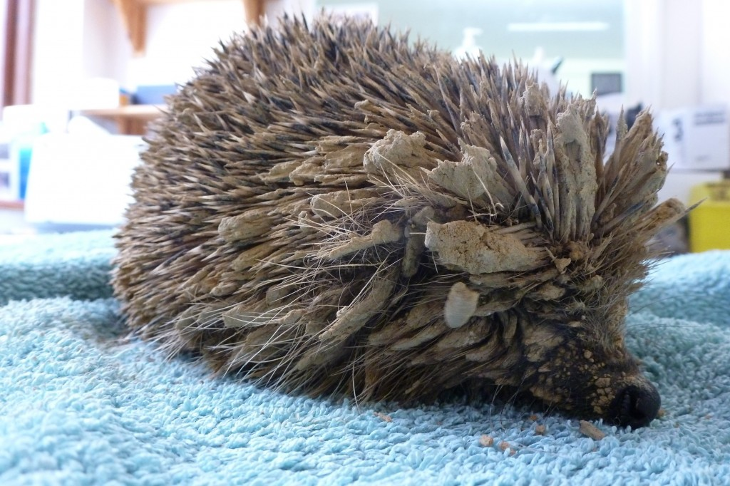 The hedgehogs were covered in dried mud from being trapped in a foundation trench on a building site