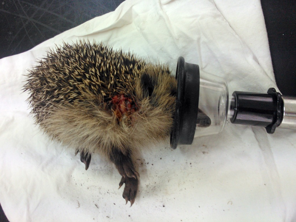 The baby hedgehog has been admitted to WRAS's Casualty Care Centre at Whitesmith