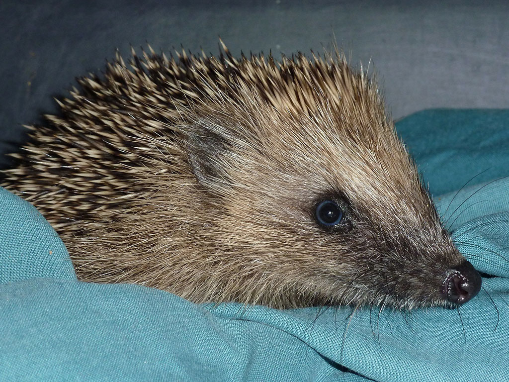 Bonfires make perfect places for hedgehogs to hide and sleep, but not necessarily in safety