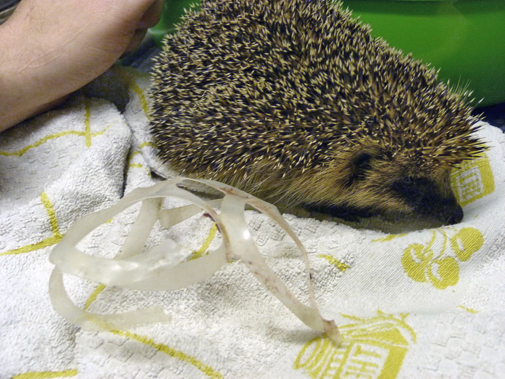 The hedgehog named Marciana is now being returned to the wild