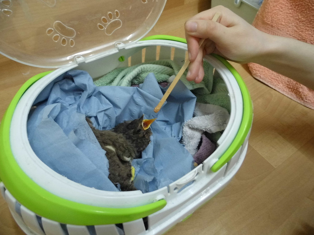 The nestling blackbird is now safe at WRAS's Casualty Care Centre