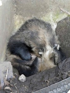 Two swellings were noticed on the badger's neck