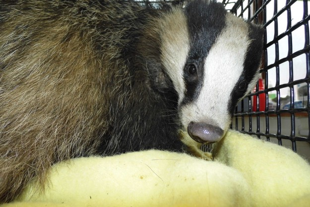The badger will stay in WRAS