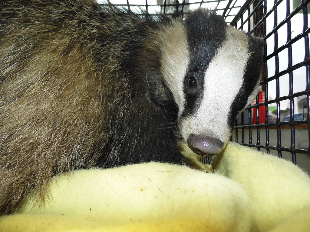 The badger will stay in WRAS's care until its wounds have healed up