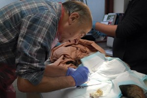 Vet Mike Symons operating on a fox.