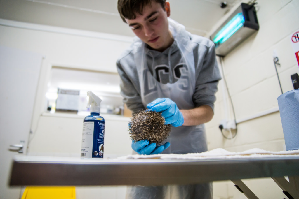 Do you know someone who is fascinated by hedgehogs and would like to be a hedgehog carer for a morning?