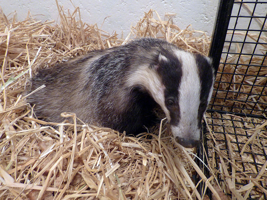The badger is now the largest land carnivore left in Britain following the extinction of the bear and the wolf