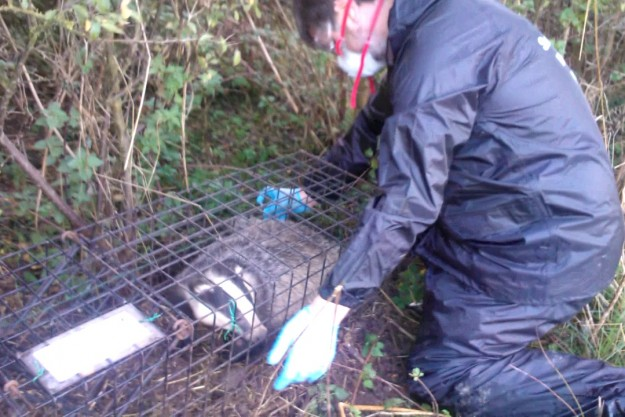 WRAS's Trevor Weeks vaccinating a badger
