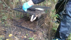 WRAS's Trevor Weeks releasing a vaccinated badger