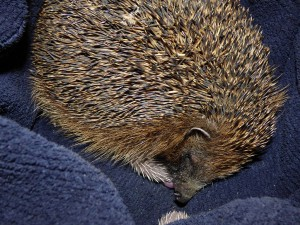 Mum and baby hedgehogs snuggled together in the jumper