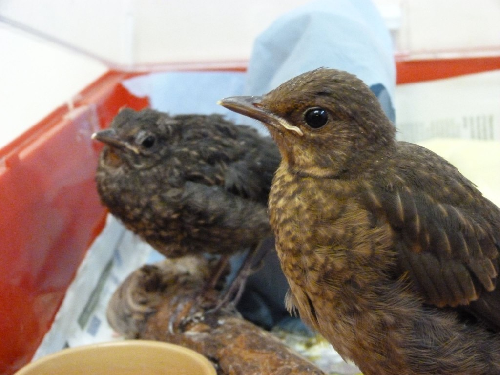 Young Blackbirds