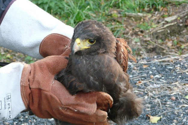 More birds of prey are killed by shock rather than their injuries, so swift action is a prime necessity as any delay increases stress. If you are not trained in handling and examining birds of prey then do not attempt to do either as this too can be stressful.