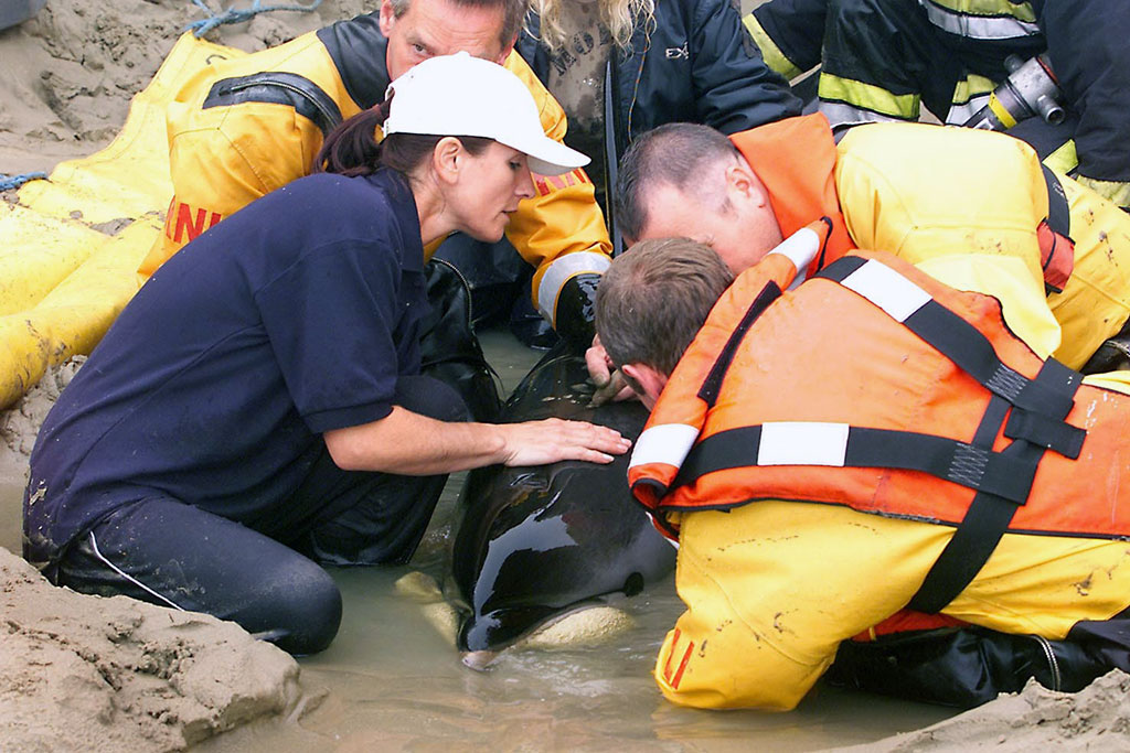 Several of WRAS's rescuers are also trained Marine Mammal Medics by British Divers Marine Life Rescue (BDMLR). WRAS would like to thank and acknowledge BDMLR's help in numerous rescues across Sussex and for the training given to WRAS rescuers.
