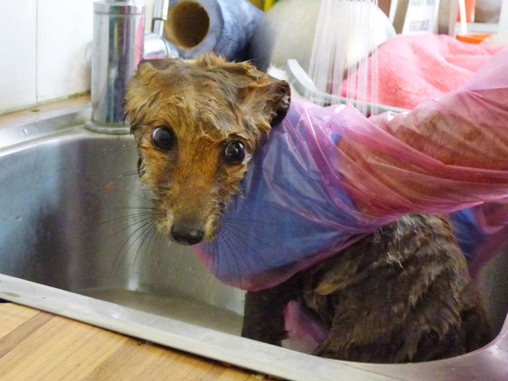 Fox cub getting a bath