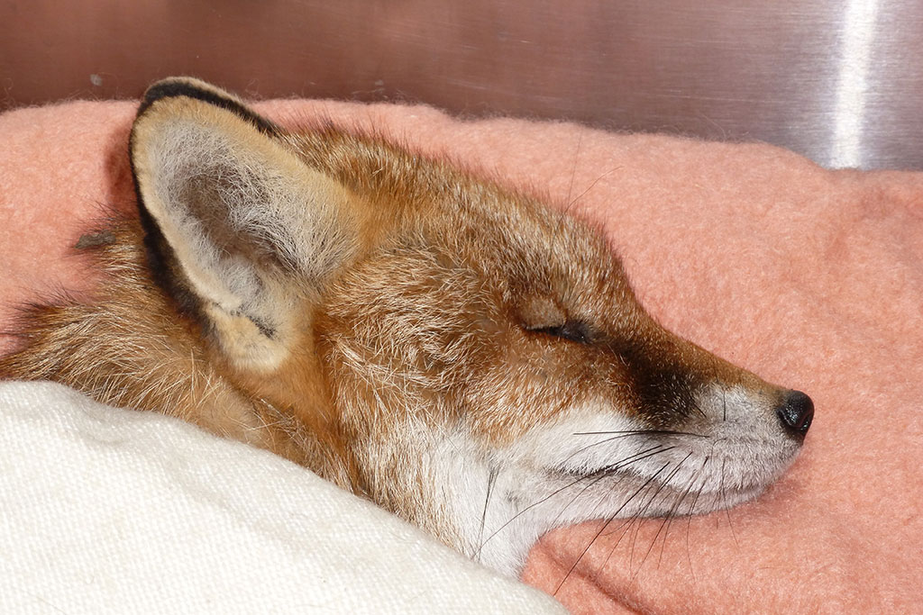 Fox being treated for poisoning