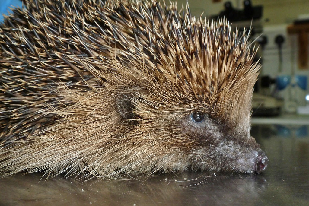 They may be covered in spikes but they are not as hardy as you might think. Hedgehogs suffer from a wide variety of illnesses and can be difficult to treat.