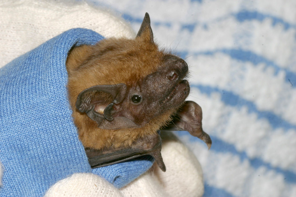 There are 17 species of bat living in the UK. WRAS has dealt with a wide variety of bats, including the Noctule (shown here), pipistrelle, Nathusius' pipistrelle, Brown long-eared bat, Grey long-eared bat, Daubenton's, Whiskered, Serotine and a migrating Parti-Coloured Bat.