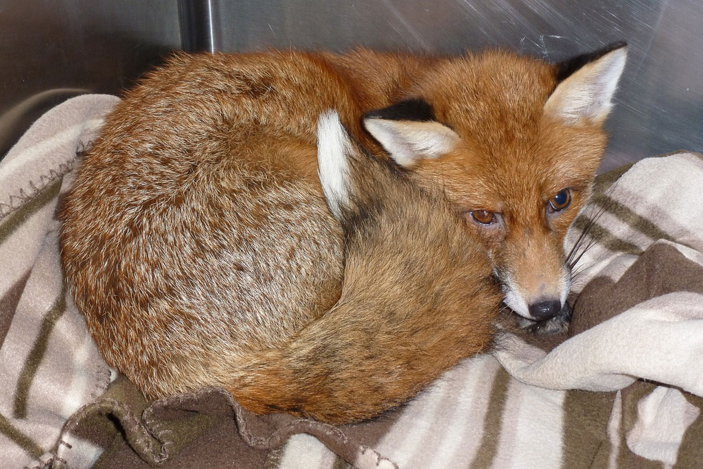WRAS receives numerous calls from members of the public concerned about foxes. Limps are one of the most common concerns, however not all limping foxes will need to come in for care.