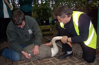 Trevor and Murrae Hume rescuing a swan at Lewes, late 1990s