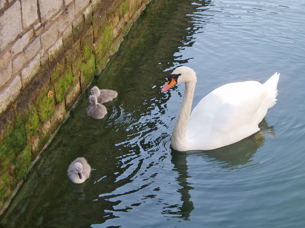 East Sussex WRAS deals with a large number of swans, and also work closely with the National Swan Sanctuary based at Shepperton in Surrey.
