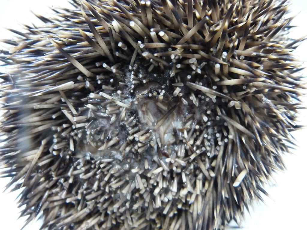 Hedgehog assessment on admission
