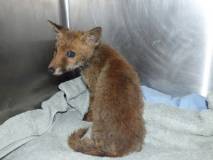 The little fox cub scrubbed up well!