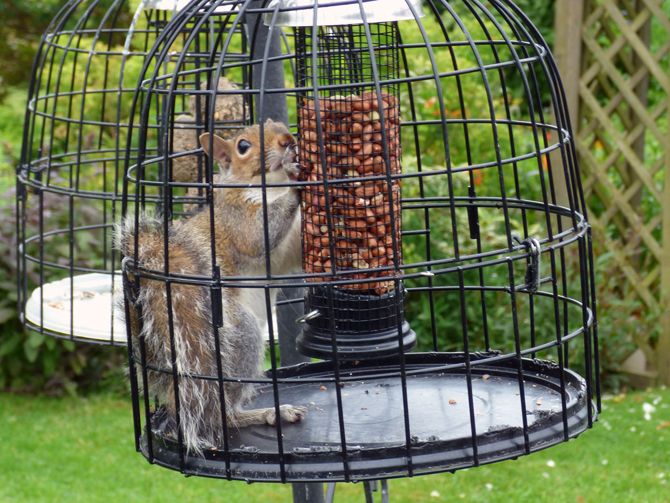 The juvenile squirrel had become temporarily trapped after squeezing through the bars of a squirrel-proof feeder!