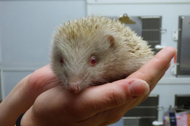 Leucistic hedgehog