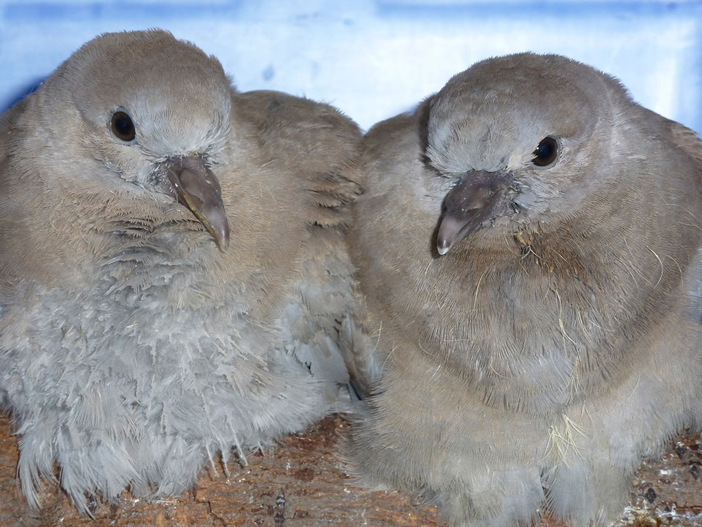 Two young collared doves