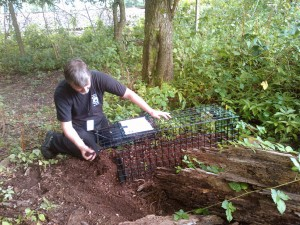 Trevor putting the badger trap into place
