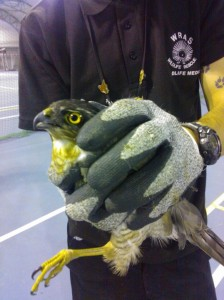 Captured Sparrowhawk