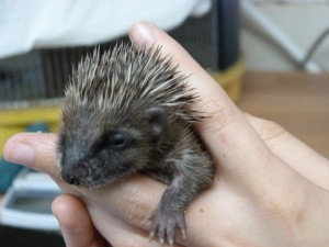 A Young Hedgehog being hand reared at WRAS