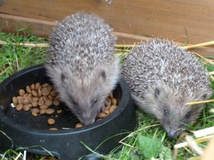 2 of the 5 Bexhill hoglets