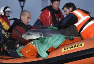 Trevor (right) rescuing a Dolphin in Cumbria