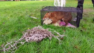 Fox entangled in Goal Netting at Roselands Eastbourne