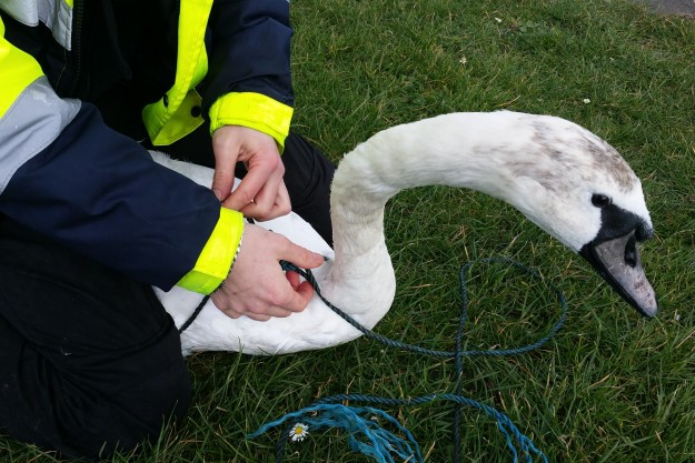 Rescuer Chris with swan with rope round neck 23rd Feb 2016 (1)