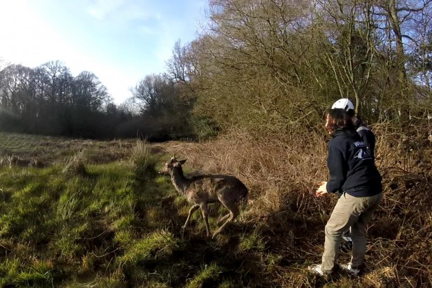 Second Deer Needs encouragement to run off. By WRAS
