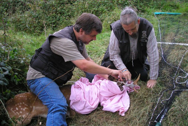 Similar Deer Rescue at Robertsbridge in July 2007